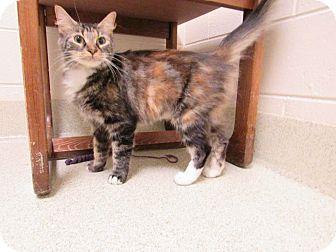 Domestic Mediumhair Cat for adoption in Windsor, Virginia - Bandit