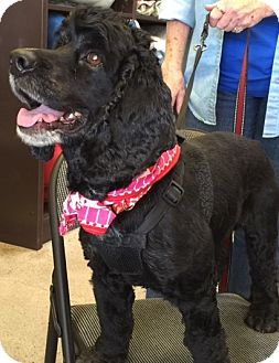 Cocker Spaniel Dog for adoption in Sacramento, California - Moe