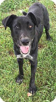 Labrador Retriever/Border Collie Mix Dog for adoption in Texico, Illinois - Otter