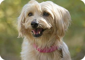 Silky Terrier Mix Dog for adoption in Colorado Springs, Colorado - Lisi