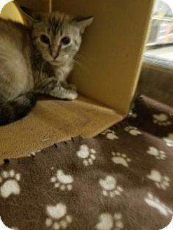 Siamese Cat for adoption in Livonia, Michigan - Sapphire