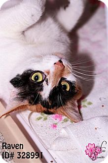 Domestic Mediumhair Cat for adoption in Camden, Delaware - Raven