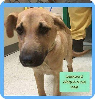 Shepherd (Unknown Type) Mix Puppy for adoption in Hanna City, Illinois - Diamond-adoption pending