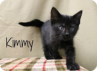Domestic Shorthair Kitten for adoption in Melbourne, Kentucky - Kimmy