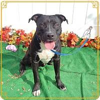Labrador Retriever/Boxer Mix Dog for adoption in Marietta, Georgia - BANDIT