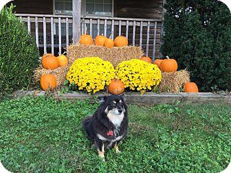 Pomeranian Mix Dog for adoption in Shawnee Mission, Kansas - Toby