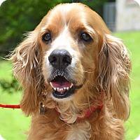 Adopt A Pet :: Cody - Austin, TX