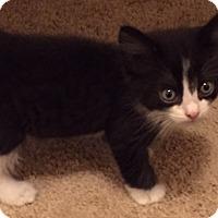 Domestic Shorthair Kitten for adoption in Tampa, Florida - Apollo