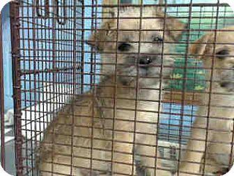 Terrier (Unknown Type, Medium) Mix Puppy for adoption in San Bernardino, California - URGENT on 12/3 SAN BERNARDINO