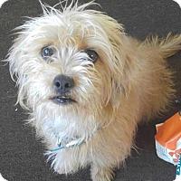 Adopt A Pet :: Darcy - Los Angeles, CA