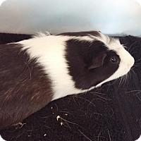 Adopt A Pet :: Pledge - Aurora, CO