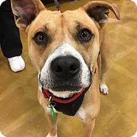 Pit Bull Terrier/Labrador Retriever Mix Dog for adoption in Sugar Grove, Illinois - Joel