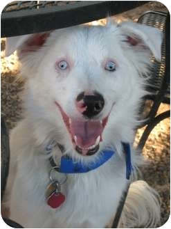 Australian Shepherd Dog for adoption in Mesa, Arizona - Ayla