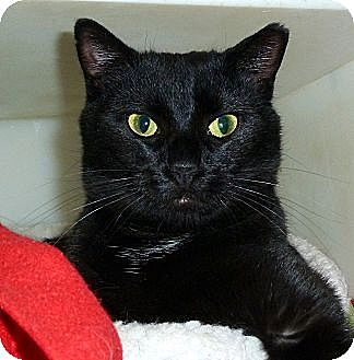 Domestic Shorthair Cat for adoption in Carmel, New York - Brigid