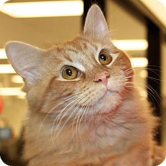 Domestic Mediumhair Cat for adoption in Greenville, South Carolina - Simba