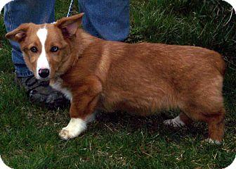 Corgi Mix Puppy for adoption in Germantown, Maryland - Cody