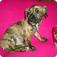 Adopt A Pet :: Tiger - Staunton, VA