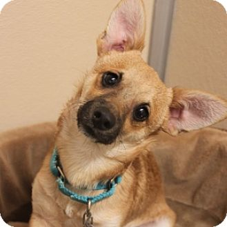 Terrier (Unknown Type, Small) Mix Dog for adoption in Naperville, Illinois - Tiger