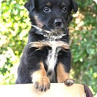 Adopt A Pet :: *Kylee - PENDING - Westport, CT