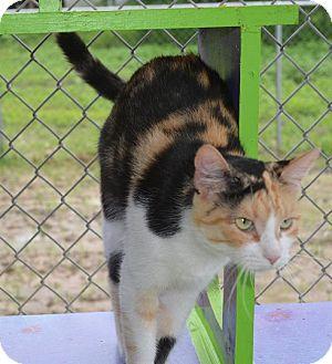 Calico Cat for adoption in New Iberia, Louisiana - Mia