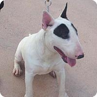 Adopt A Pet :: KHALIFA (DG) - Tampa, FL