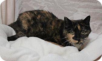 Domestic Shorthair Cat for adoption in Sebastian, Florida - Abby