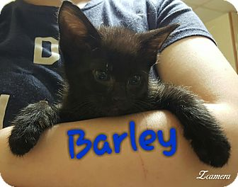 Bombay Kitten for adoption in McDonough, Georgia - Barley