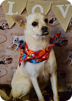 Chihuahua Mix Dog for adoption in Okeechobee, Florida - Chloe