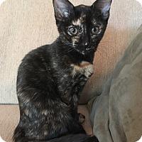 Adopt A Pet :: Venus - Apex, NC
