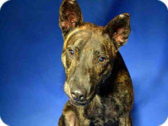 Labrador Retriever Mix Dog for adoption in Ocala, Florida - DUKE