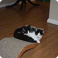 Adopt A Pet :: Yamaha - St. Louis, MO