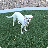 Adopt A Pet :: Snowy formerly Komala - Las Vegas, NV
