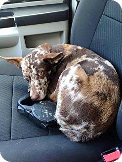 Catahoula Leopard Dog/Cattle Dog Mix Dog for adoption in Seahurst, Washington - Breeze
