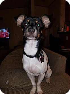 Rat Terrier Dog for adoption in Memphis, Tennessee - Benny