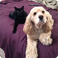 Bombay Cat for adoption in San Juan Capistrano, California - Toby