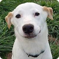 Labrador Retriever Mix Puppy for adoption in Hanover, Pennsylvania - Star