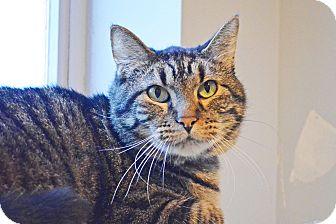 Domestic Shorthair Cat for adoption in Lincoln, Nebraska - Tuffy
