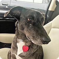 Adopt A Pet :: Stella~ meet me! - Glastonbury, CT