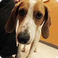 Harrier/Foxhound Mix Dog for adoption in Pittsburg, Kansas - Harriet