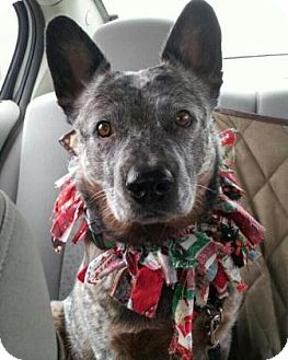 Australian Cattle Dog Dog for adoption in Phoenix, Arizona - Morrie