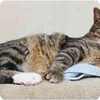 Domestic Shorthair Cat for adoption in Lakewood, Colorado - Murtaugh