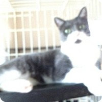 Adopt A Pet :: Briton - Fort Lauderdale, FL