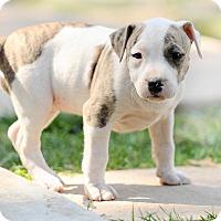 Adopt A Pet :: Heidi - Mission Viejo, CA