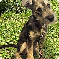 Adopt A Pet :: AGGIE - Hurricane, UT