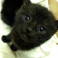 Adopt A Pet :: Ebony - Whitestone, NY