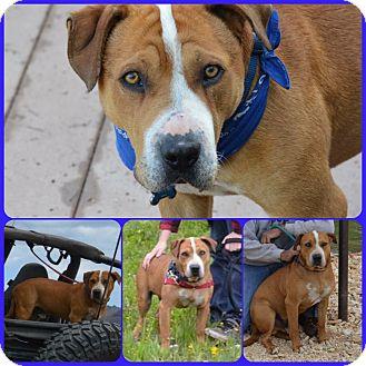 American Bulldog Mix Dog for adoption in Colorado Springs, Colorado - Mac