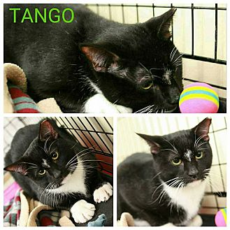 Domestic Shorthair Cat for adoption in Cumberland and Baltimore, Maryland - Tango & Cash