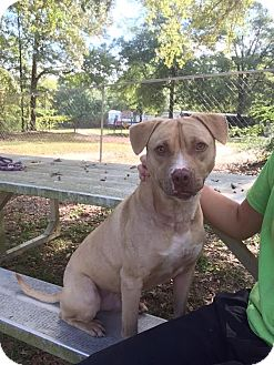 Bull Terrier Mix Dog for adoption in Ozark, Alabama - Reggie