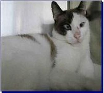 Snowshoe Cat for adoption in Kingwood, Texas - Chico