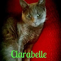 Russian Blue Cat for adoption in Grand Blanc, Michigan - Clarabelle